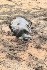 dog sunbathing in dirt
